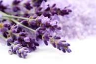 Fototapete Lavendel