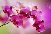 Fototapete Orchidee
