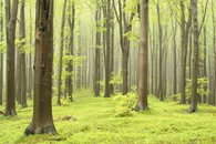 Fototapete Wald